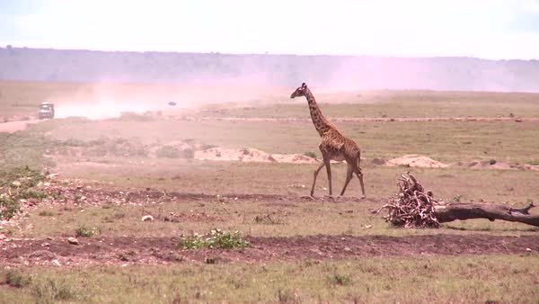 A giraffe crosses a golden savannah in Africa with a safari vehicle background. Royalty-free stock video