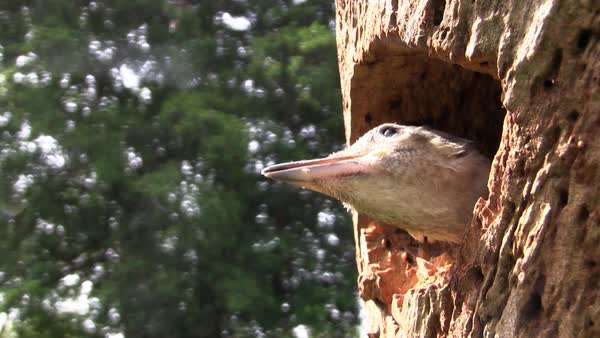 Beautiful shot of a red bellied woodpecker looks out from its nest in a tree. Royalty-free stock video