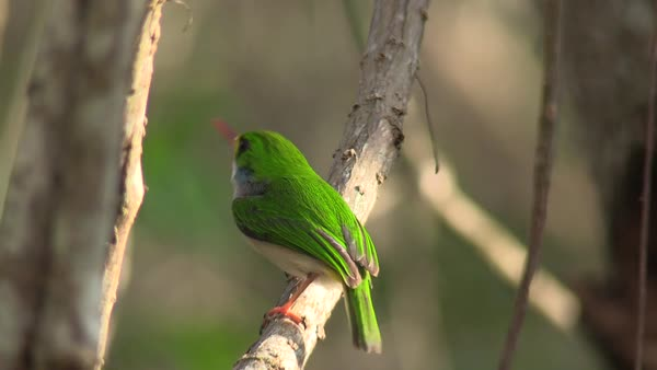 The Cuban tody bird poses on a small branch. Royalty-free stock video