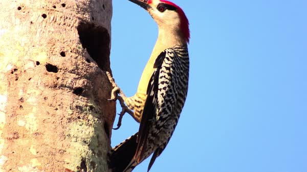 The beautiful West Indian woodpecker in its nest in a tree. Royalty-free stock video