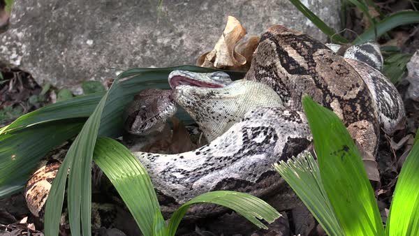 Extreme close up of a python eating an iguana whole.  Royalty-free stock video