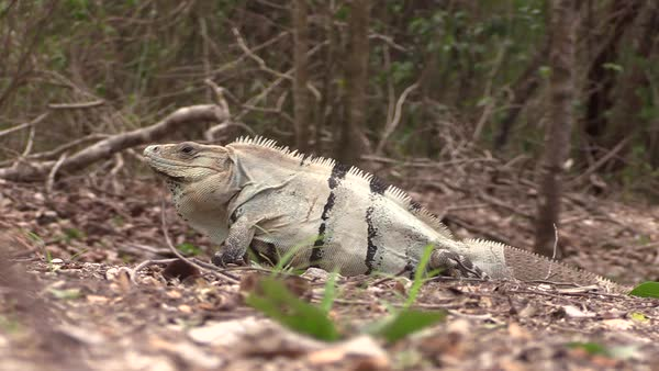 Close up shot of an iguana sitting in the grass. Royalty-free stock video