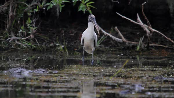An alligator moves through a swamp near a wood stork. Royalty-free stock video