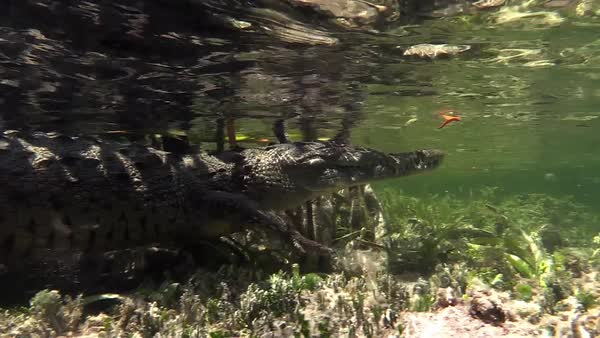 Remarkable shot of an alligator walking underwater. Royalty-free stock video