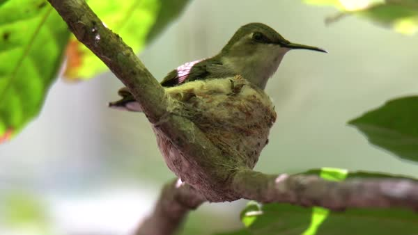 A bee hummingbird female rests in her nest in Cuba. Royalty-free stock video