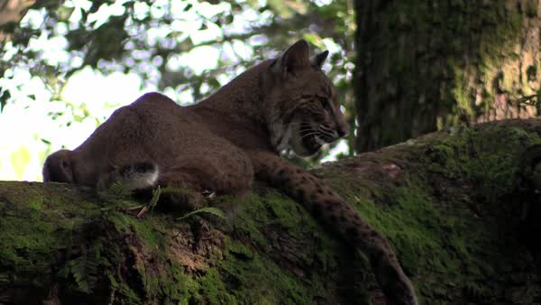 A bobcat rests in a tree. Royalty-free stock video