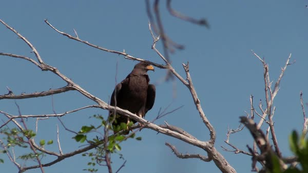 A Cuban black hawk sits on a tree branch. Royalty-free stock video