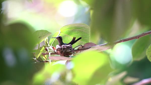 A Cuban emerald hummingbird female sits on her nest. Royalty-free stock video