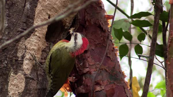 A Cuban green woodpecker eats an insect. Royalty-free stock video