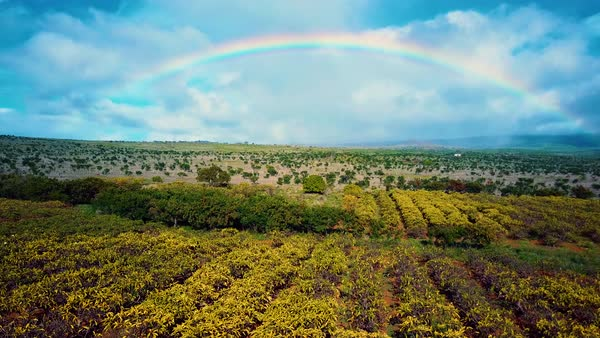 Aerial shot rising above trees in an orchard with large rainbow arcing in distance. Royalty-free stock video