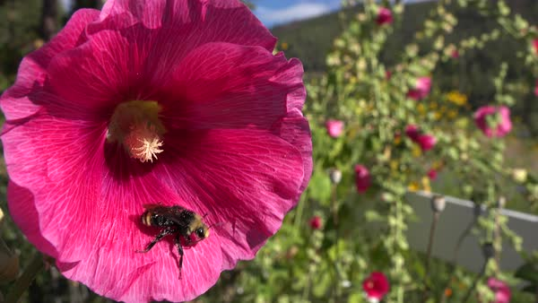 A bumblebee pollinates a large pink flower in the fields. Royalty-free stock video