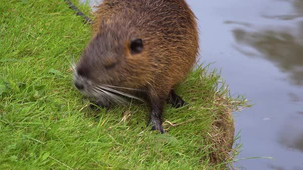 A beaver stands along the shore of a river. Royalty-free stock video