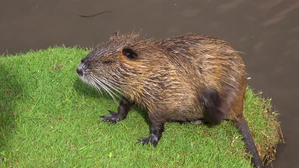 A beaver sits on the banks of a river and scratches. Royalty-free stock video