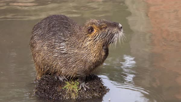 A beaver sits on an island in a brown river. Royalty-free stock video