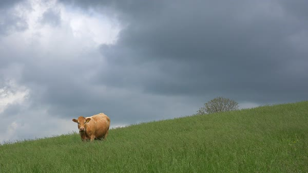A cow grazes in a green field as lightning strikes in the distance. Royalty-free stock video
