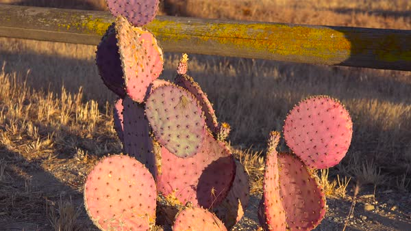 Cactus grows in the fields of Central California. Royalty-free stock video