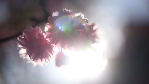 Close-up of flower on tree with lens flare Royalty-free stock video