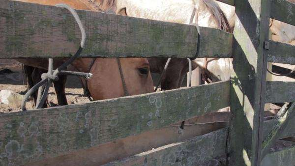 Static shot showing horses eating behind a rustic fence Royalty-free stock video
