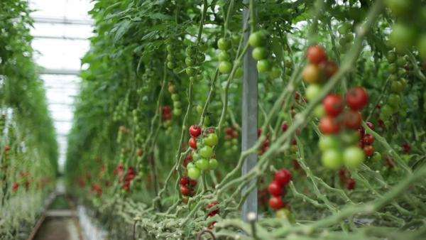 Rows of tomato plants Royalty-free stock video