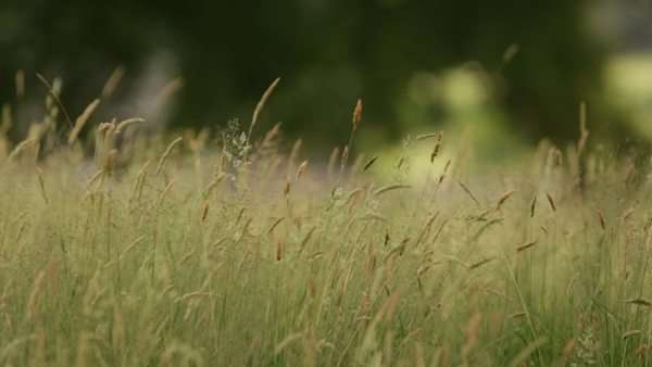 Slider shot of long grass on a windy day with wall in background Royalty-free stock video