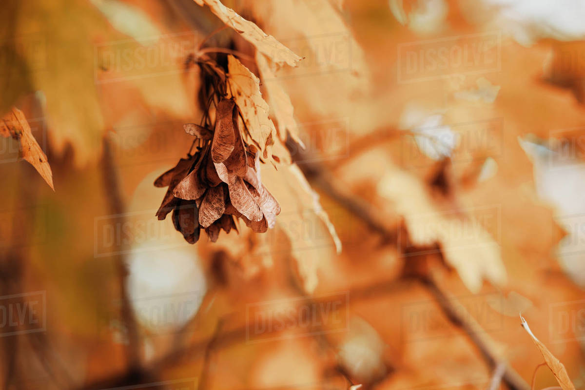 Golden maple branch in a forest. Interesting autumn still life photo of a dying nature. Royalty-free stock photo