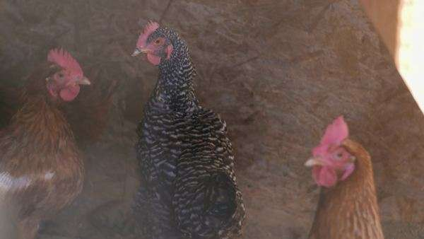 Chickens Royalty-free stock video