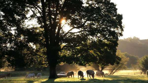 Morning sunrise cows in the countryside Usk Valley nr USK, South Wales, UK, Europe Royalty-free stock video