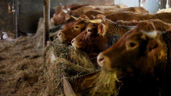 Salers cows eating hay in barn in France Royalty-free stock video