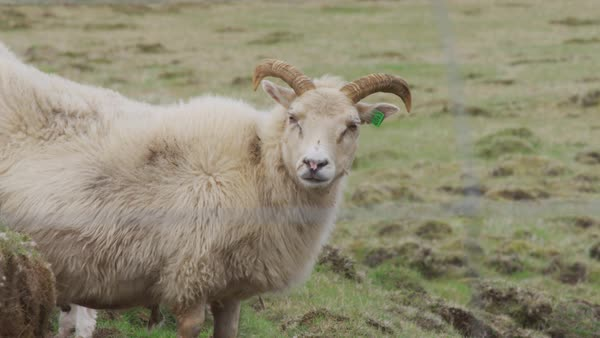 Sheep with horns turns head and looks at camera Royalty-free stock video