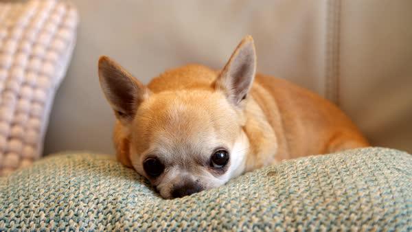 Resultado de imagen para chihuahua sofa