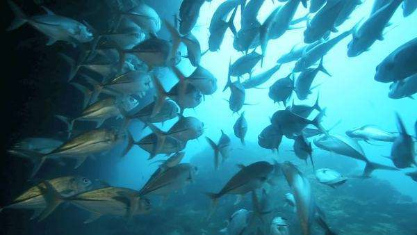 School of bigeye trevally swimming at entrance of underwater cave at Sipadan Island, Borneo Royalty-free stock video