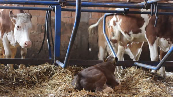 Dairy cows - Simmental cattle, with calf in foreground Royalty-free stock video