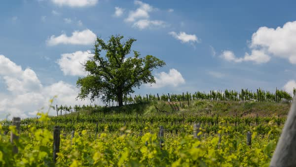 Timelapse of vineyard on a spring day Royalty-free stock video
