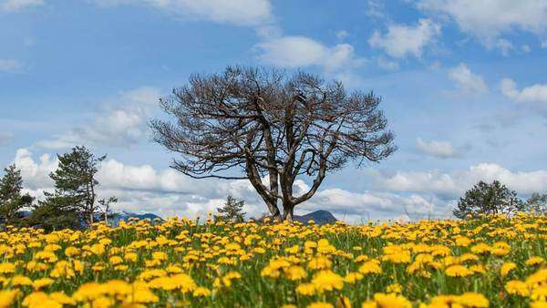 Sliding shot of a tree in the field of dandelions, close up Royalty-free stock video