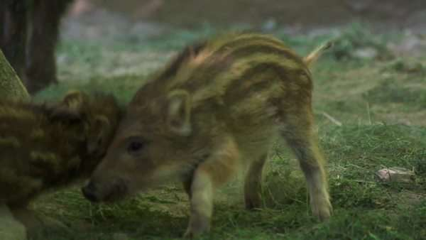 Boar piglet in a German forest Royalty-free stock video