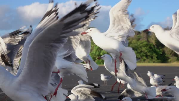 SLOW MOTION CLOSE UP: Insecure, unsure cute seagulls taking off and landing on the road on a small parking lot. Flock of intriguing birds, swinging with their wings, lifting up and descending on road Royalty-free stock video