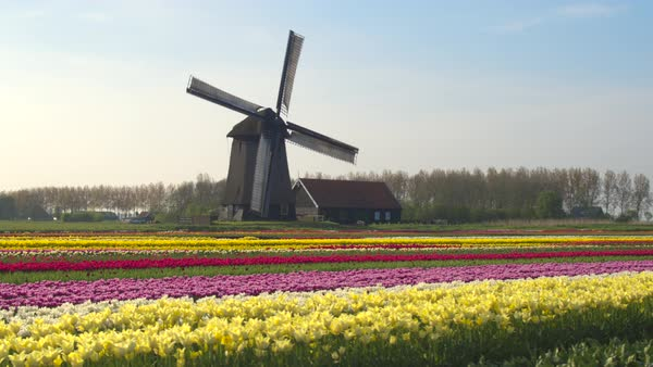 AERIAL, CLOSE UP: Flying next to beautiful colorful rows of flowering tulips on big floricultural farmland in front of traditional antique wooden windmill at Keukenhof gardens, Amsterdam, Netherlands Royalty-free stock video