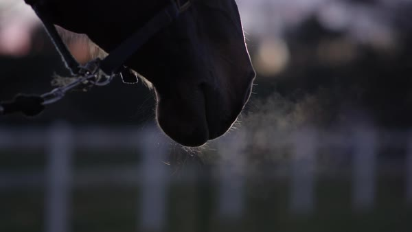 SLOW MOTION, CLOSE UP, DOF: Hot breath turning into vapor when coming out from horse's nostrils. Beautiful dark bay horse breathing deeply, warm air changing into steam. Strong stallion blowing air Royalty-free stock video