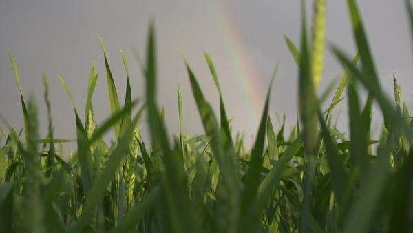 Rainbow over the wheat field Royalty-free stock video