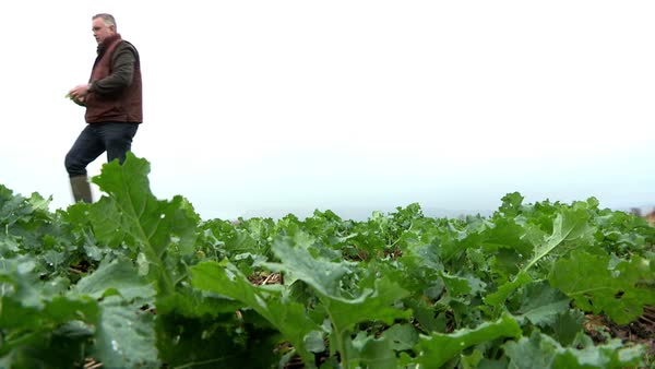 Wide shot of a man working on a broccoli farm in Northern Ireland Rights-managed stock video