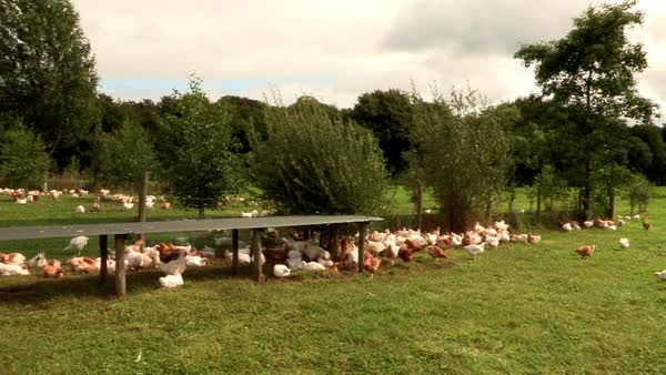 Wide shot of free-range chickens in a farm Rights-managed stock video