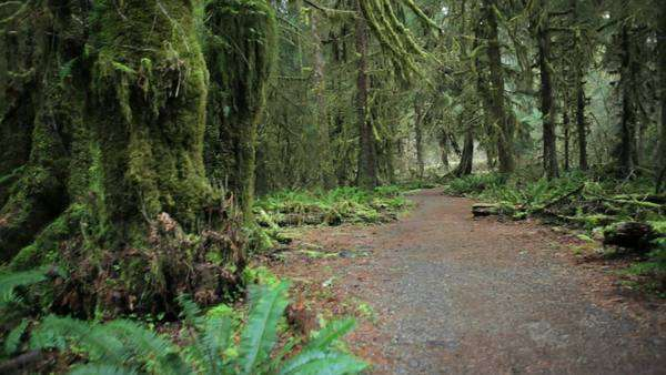 Walking trail through the Hoh Rain Forest,  Hall of Mosses, Washington, jib Royalty-free stock video