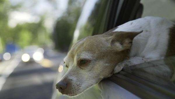 Handheld shot of dog leaning out the window of a moving car Royalty-free stock video