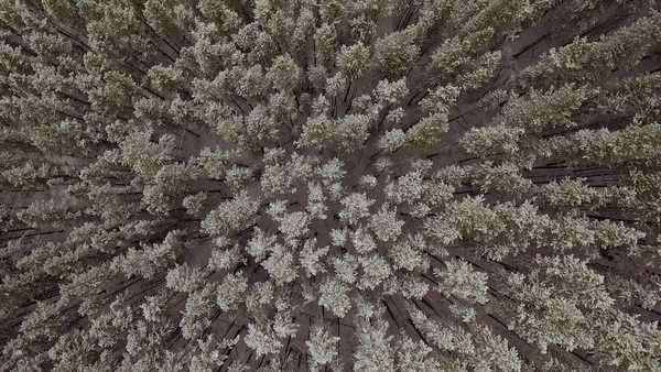 Aerial shot of an evergreen forest in winter Royalty-free stock video