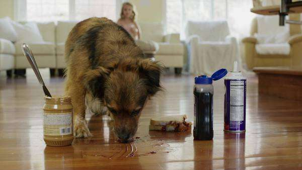 Close-up slow motion shot of dog eating peanut butter on floor Royalty-free stock video