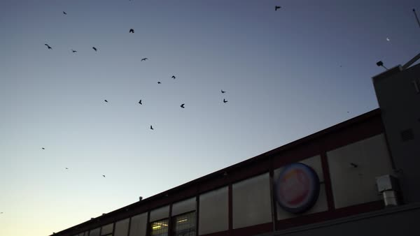 Wide shot of a flock of bird flying above Philadelphia, Pennsylvania, USA Rights-managed stock video