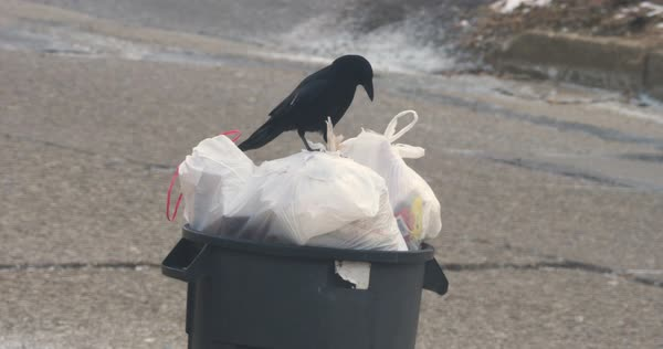 A black crow pecks at garbage bags in a can outside of a home in a residential neighborhood.   Royalty-free stock video