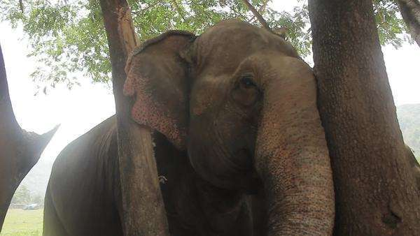 Medium shot of an Asian elephant rubbing against a tree Royalty-free stock video