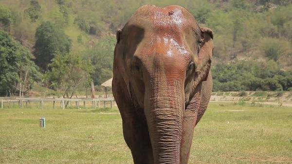 Handheld shot of Asian elephant walking towards the camera Royalty-free stock video