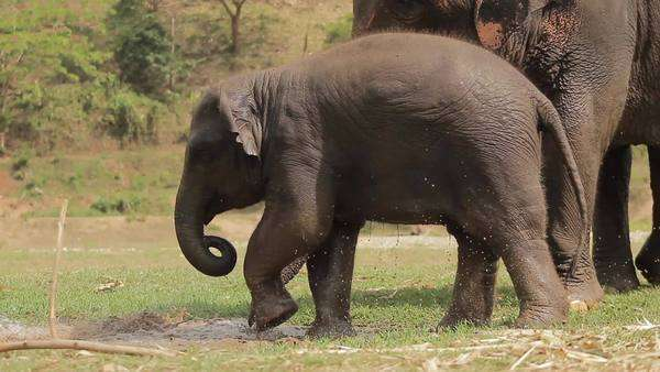 Wide shot of baby elephant playing in a puddle Royalty-free stock video